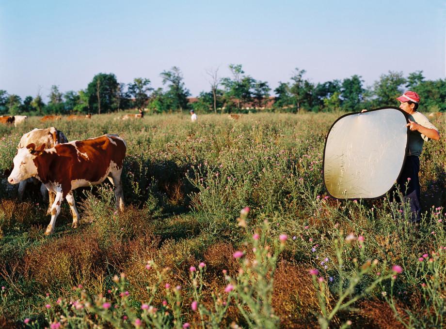 Aleksandrija Ajduković, Blesteče krave (Sjajne Krave), 2002–2004. Z dovoljenjem avtorice.