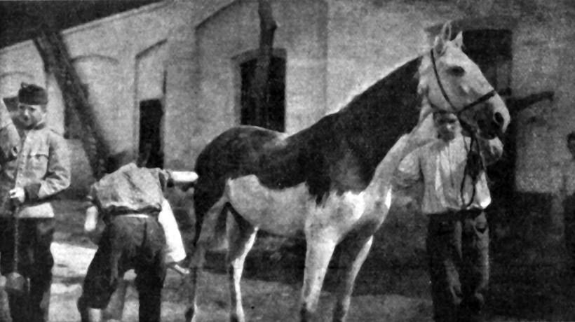 Slika 2. Vojaki barvajo belca. (Ilustrirani glasnik 1915, št. 8, 92).