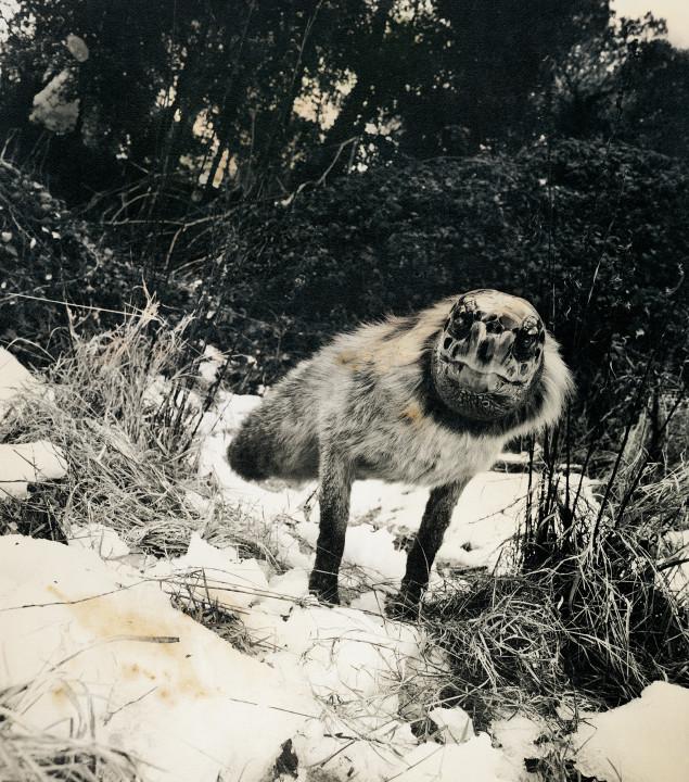 Joan Fontcuberta (s Perom Formiguerom), Alopex stultus, iz serije Favna (Fauna), 1987.