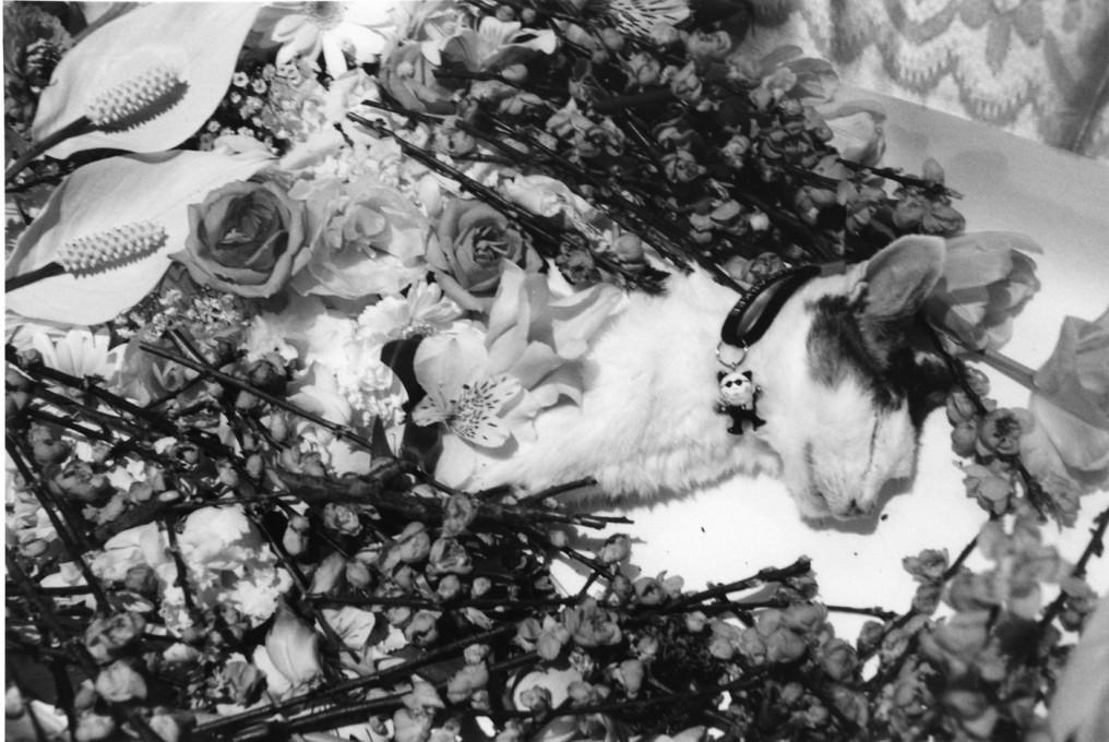 Nobuyoshi Araki, Arakijeva mačka Chiro, 2010. Z dovoljenjem DazedDigital.